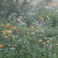 Photos: 190726-3大江湿原と尾瀬沼・大江湿原・ニッコウキスゲと白い花