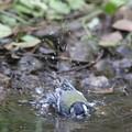 190603-2シジュウカラの水浴び