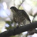 190825-2小鳥を捕ったツミ♀