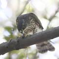 190825-3小鳥を食べるツミ♀