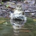 Photos: 190929-17キビタキ♀tの水浴び
