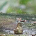 Photos: 190930-4キビタキ♀tの水浴び