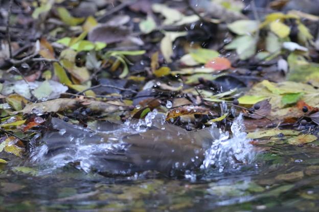 191120-6シロハラの水浴び