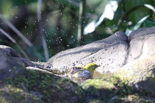 200110-9メジロの水浴び