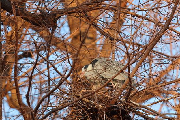200211-1今朝も巣に着いたとき巣にいました・アオサギ