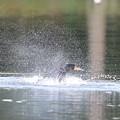 200423-1カワウの水浴び