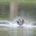 200423-2カワウの水浴び
