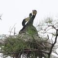 Photos: 200512-7私が雛が孵ったと確認してから10日目・おチビちゃんが見えません・カワウ