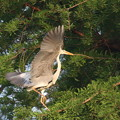 Photos: 200513-4巣がある木に新しい巣を作るつもり?・アオサギ