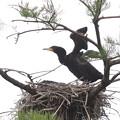 200521-4私が雛が孵ったと確認してから19日目・雛の飛ぶ練習?