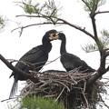 200521-5私が雛が孵ったと確認してから19日目・給餌・左が親、右が雛