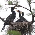 200521-6私が雛が孵ったと確認してから19日目・餌をねだる2羽の雛・雛が2羽になった?