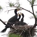 200521-7私が雛が孵ったと確認してから19日目・餌をねだる2羽の雛・雛が2羽になった?