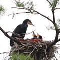 200522-1私が雛が孵ったと確認してから20日目・親(左)と二羽の雛