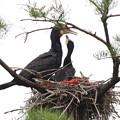 200522-2私が雛が孵ったと確認してから20日目・親に餌をねだる雛・もう一羽の首が上がりません