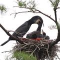 200522-4私が雛が孵ったと確認してから20日目・給餌中ももう一羽はこれ以上首を伸ばしません