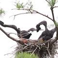 200523-3私が雛が孵ったと確認してから21日目・二羽で飛ぶ練習?
