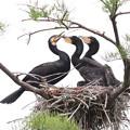 200523-5私が雛が孵ったと確認してから21日目・親(左)と二羽の雛