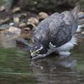 Photos: 200727-4水を飲むオオタカ(1/2)