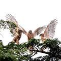 200716-10雛が孵ったと思われる日から64日目・幼鳥の華麗な舞い姿