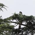 Photos: 200802-2葉陰のオオタカ