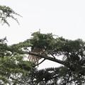 200802-3葉陰で羽を広げるオオタカ