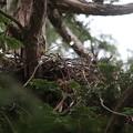 200516-3雛が孵ったと思われる日から3日目・オオタカの巣
