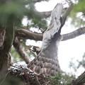 200516-4雛が孵ったと思われる日から3日目・巣に餌を運ぶオオタカ
