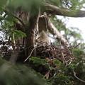 200516-5雛が孵ったと思われる日から3日目・巣にいるオオタカの尻尾