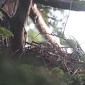 200517-5雛が孵ったと思われる日から4日目・巣に座っているオオタカの親?