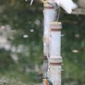 200805-2カワセミ(手前)とコサギ