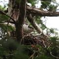 200518-1雛が孵ったと思われる日から5日目・オオタカと巣・雛はまだ見えません
