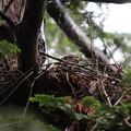 200520-1雛が孵ったと思われる日から7日目・巣に座っているオオタカ