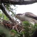 200520-2雛が孵ったと思われる日から7日目・雛に給餌中?・オオタカ