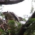 200520-3雛が孵ったと思われる日から7日目・巣にいるオオタカ