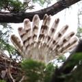200520-4雛が孵ったと思われる日から7日目・オオタカの尾羽