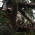 200522-10雛が孵ったと思われる日から9日目・雛?・オオタカ