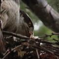 200522-11雛が孵ったと思われる日から9日目・右の写真の拡大・雛?・オオタカ