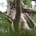 200523-8雛が孵ったと思われる日から10日目・巣から立ち上がったオオタカ