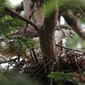 200523-9雛が孵ったと思われる日から10日目・巣から立ち上がったオオタカ
