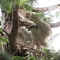 200525-5雛が孵ったと思われる日から12日目・巣に着地するオオタカ(1/2)