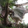 200525-6雛が孵ったと思われる日から12日目・巣に着地するオオタカ(2/2)
