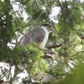 200525-7雛が孵ったと思われる日から12日目・森の王者・オオタカ