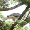 200525-8雛が孵ったと思われる日から12日目・巣を離れるオオタカ