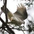 200526-1雛が孵ったと思われる日から13日目・枝をくわえて飛び立つオオタカ
