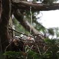 200526-4雛が孵ったと思われる日から13日目・噴水?(2/2)・オオタカ