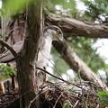 200526-5雛が孵ったと思われる日から13日目・巣にいる雛を見つめるオオタカ
