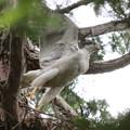 200527-3雛が孵ったと思われる日から14日目・オオタカの巣からの飛び立ち(1/2)