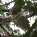 200527-4雛が孵ったと思われる日から14日目・オオタカの巣からの飛び立ち(2/2)