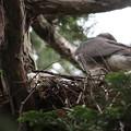 200528-4雛が孵ったと思われる日から15日目・初めて撮れた雛・オオタカ